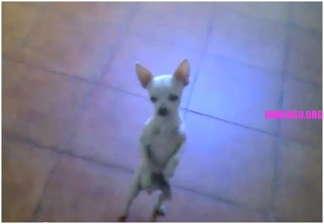 cane balla flamenco