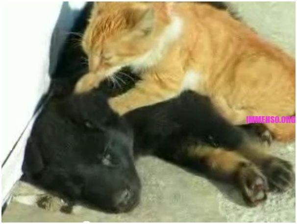 gatto fa un massaggio al cane