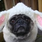 immagini divertenti cappelli cani 11