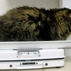 foto gatti grassi 01
