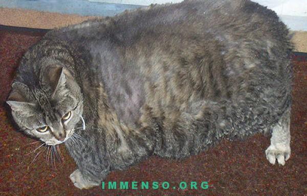 foto gatti grassi 11