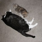 foto gatti grassi 12