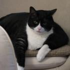 foto gatti grassi 16