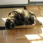 foto gatti grassi 17