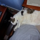 foto gatti grassi 18