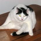 foto gatti grassi 24