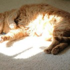 foto gatti grassi 26
