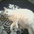 foto gatti grassi 27