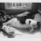 foto gatti grassi 32