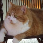 foto gatti grassi 36