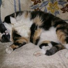 foto gatti grassi 38
