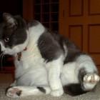 foto gatti grassi 39