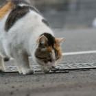 foto gatti grassi 42
