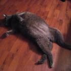 foto gatti grassi 45