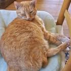 foto gatti grassi 47