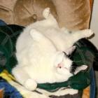foto gatti grassi 49