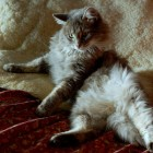 foto gatti grassi 51