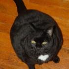 foto gatti grassi 54
