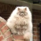 foto gatti grassi 55