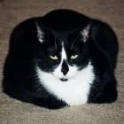 foto gatti grassi 56