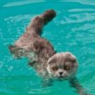 foto gatti nuotano in acqua 02