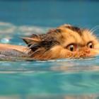 foto gatti nuotano in acqua 04
