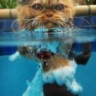 foto gatti nuotano in acqua 07