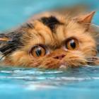 foto gatti nuotano in acqua 08