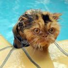 foto gatti nuotano in acqua 09