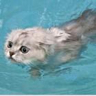 foto gatti nuotano in acqua 10