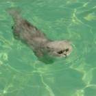 foto gatti nuotano in acqua 12