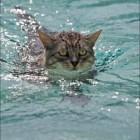 foto gatti nuotano in acqua 20