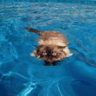 foto gatti nuotano in acqua 25