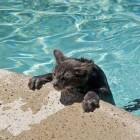 foto gatti nuotano in acqua 26