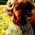 parrucca cani gatti foto 04