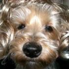 parrucca cani gatti foto 08