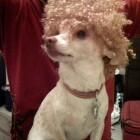 parrucca cani gatti foto 12