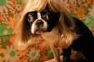 parrucca cani gatti foto 17