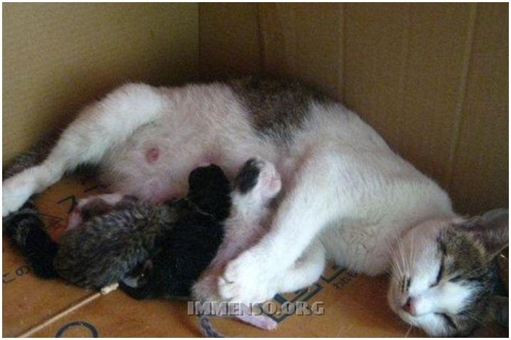 gatta incinta