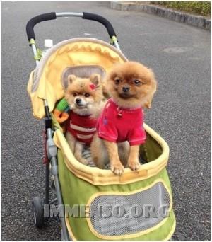 cani nel passeggino