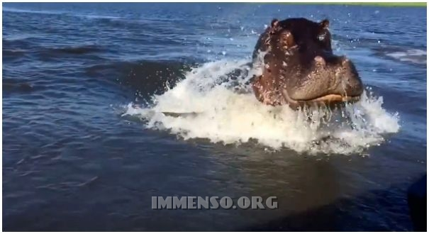 ippopotamo attacca la barca video