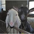 capra e pecora
