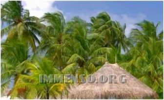 maldive palme