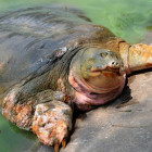 cu rua tartaruga morta