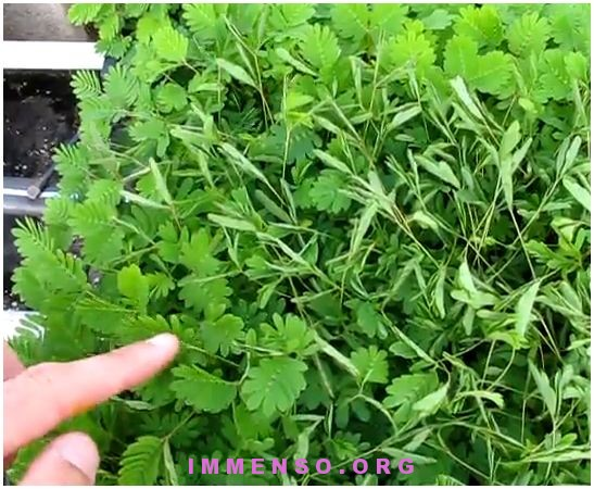 mimosa pudica video