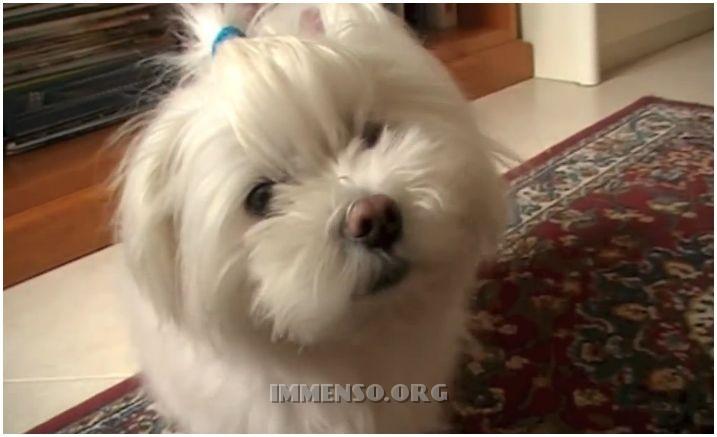 cane maltese vive a lungo