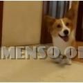 corgi cane da appartamento