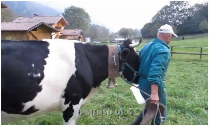 mucca e contadino